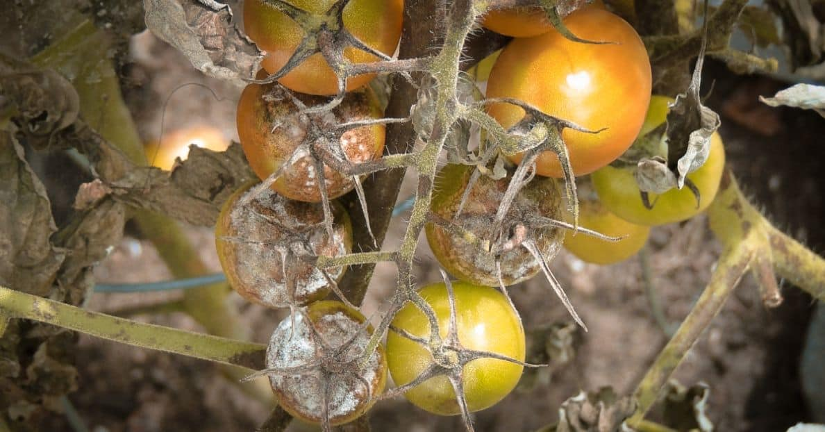 common-plant-diseases-cure