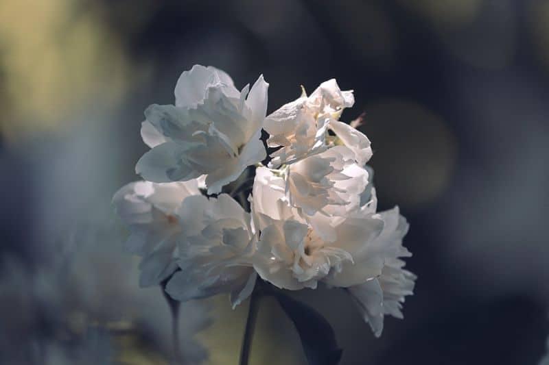 White Jasmines close up